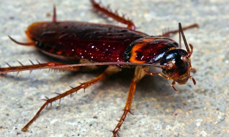 Perché vengono le blatte/scarafaggi?