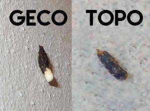 Differenza escrementi geco e topo