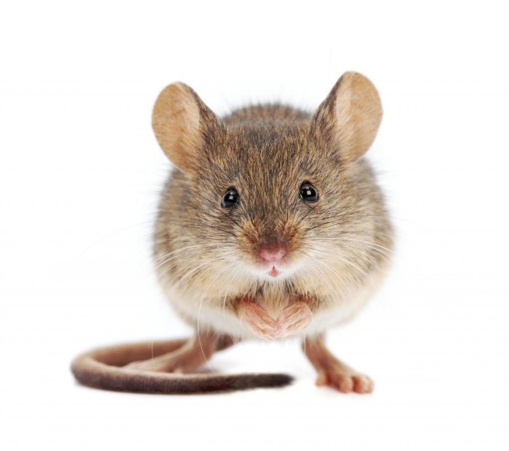 escrementi di topo