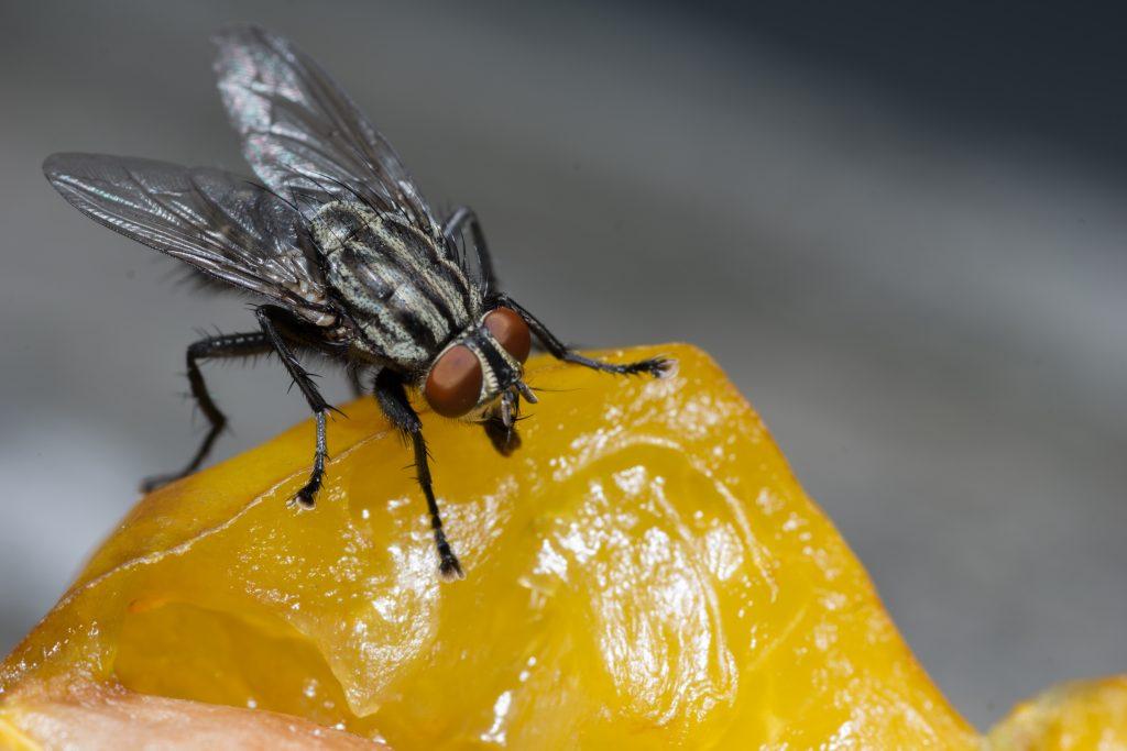 Conoscere le specie di mosche
