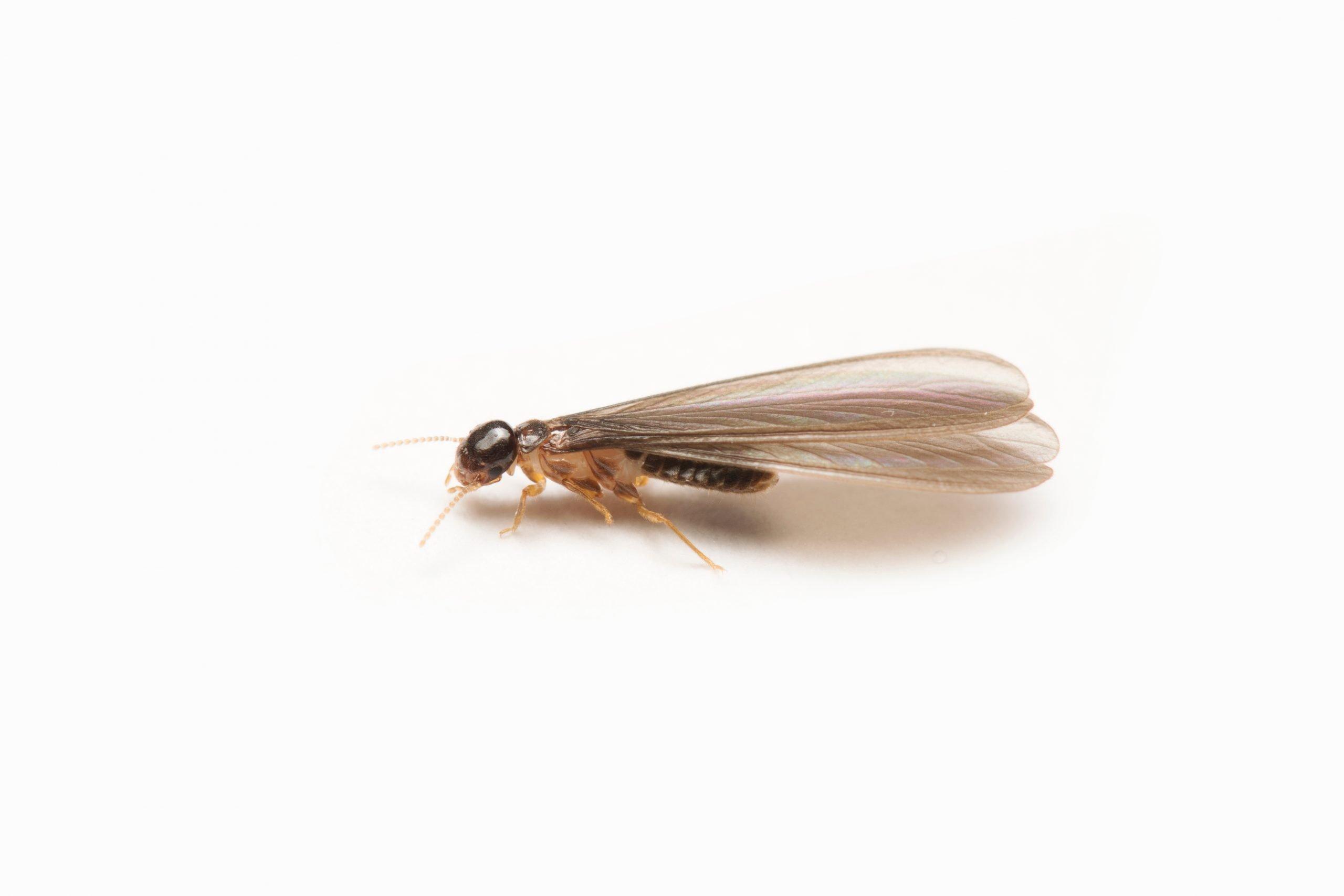 termiti alate